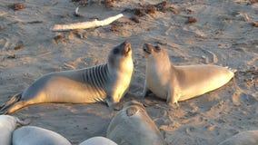 Lotta delle guarnizioni di elefante per dominanza sulla spiaggia dentro stock footage