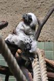 Lotta delle scimmie Immagini Stock
