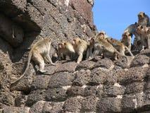 Lotta delle scimmie sopra un tempiale in Lopburi Fotografia Stock