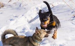 Lotta di cane nell'inverno fotografie stock