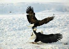 Lotta di due Eagles calvo (washingtoniensis di leucocephalus del Haliaeetus) per la preda Fotografia Stock