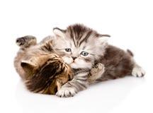 Lotta fra due gattini britannici Isolato su priorità bassa bianca immagini stock