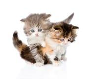 Lotta fra due gattini scozzesi Isolato su priorità bassa bianca fotografia stock