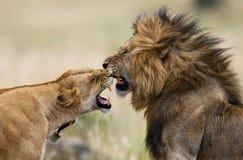 Lotta nella famiglia dei leoni Sosta nazionale kenya tanzania Masai Mara serengeti Fotografie Stock