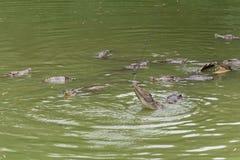Lotta per il siamensis del alimento-coccodrillo-Crocodylus Fotografie Stock