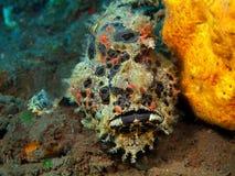 Lotte de mer Photographie stock libre de droits