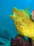 Lotte de mer géante Photos libres de droits