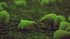 Lotten av behandla som ett barn fågelungar arkivfilmer