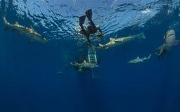 Lotten av farliga citronhajar simmar runt om dykare som önskar att köra upp på blå havbakgrund arkivbilder