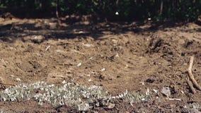 Lotten av vita fjärilar flyger runt om en stor pöl som lokaliseras nära skogen stock video