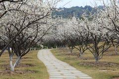 Lotter av plommonet blomstrar med landsvägen Arkivfoto