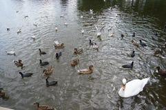 Lotti degli uccelli acquatici Fotografie Stock Libere da Diritti