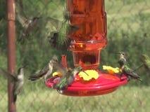 Lotti dei colibrì che vogliono sull'alimentatore archivi video