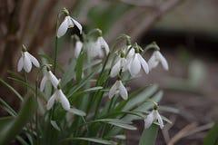 Lotti dei fiori bianchi del bucaneve fotografia stock libera da diritti