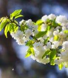 Lotti dei fiori di ciliegia bianchi delicati Bello ramo densamente Fotografia Stock