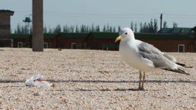 Lotti dei gabbiani sulla spiaggia che mangiano un pasto e video d archivio