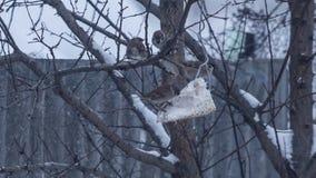 Lotti dei passeri sul cibo dell'albero archivi video