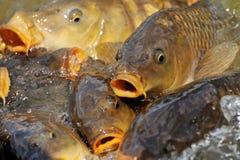 Lotti dei pesci della carpa fotografia stock libera da diritti
