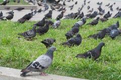 Lotti dei piccioni nella città natura, animali fotografia stock libera da diritti