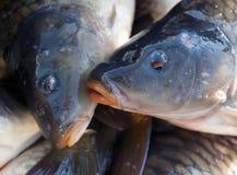 Lotti del pesce della carpa Immagine Stock Libera da Diritti