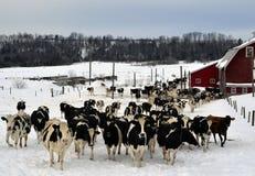 Lotti delle mucche Fotografia Stock