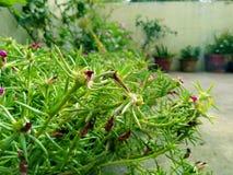 Lotti delle piante verdi nella stagione delle pioggie Immagine Stock Libera da Diritti