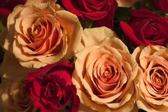 Lotti delle rose Fotografia Stock