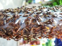 Lotti delle termiti di volo della stagione delle pioggie fotografie stock libere da diritti