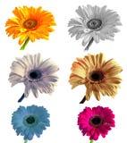 Lotti di grande bella gerbera dei fiori senza fondo, Gerber sull'insieme isolato del fondo dei colori Fotografie Stock