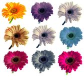 Lotti di grande bella gerbera dei fiori senza fondo, Gerber sull'insieme isolato del fondo dei colori Immagini Stock