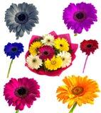 Lotti di grande bella gerbera dei fiori senza fondo, Gerber sull'insieme isolato del fondo dei colori Fotografie Stock Libere da Diritti