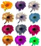 Lotti di grande bella gerbera dei fiori senza fondo, Gerber sull'insieme isolato del fondo dei colori Fotografia Stock