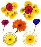 Lotti di grande bella gerbera dei fiori senza fondo, Gerber sull'insieme isolato del fondo dei colori Immagine Stock Libera da Diritti