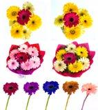 Lotti di grande bella gerbera dei fiori senza fondo, Gerber sull'insieme isolato del fondo dei colori Immagini Stock Libere da Diritti