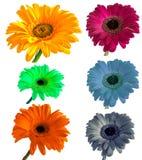 Lotti di grande bella gerbera dei fiori senza fondo, Gerber sull'insieme isolato del fondo dei colori Fotografia Stock Libera da Diritti