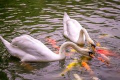 Lotti di Koi Carp Fish Kissing variopinto con due cigni bianchi Fotografia Stock Libera da Diritti