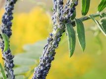 Lotti di piccoli afidi degli insetti che coprono il gambo della pianta sulla a Immagine Stock