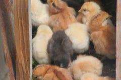 Lotti di piccoli cickens del bambino Fotografia Stock Libera da Diritti
