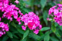 Lotti di piccoli fiori porpora fotografia stock libera da diritti