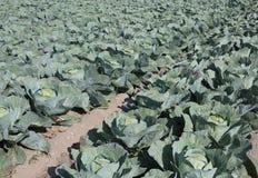 lotti maturi dei cavoli verdi in un campo molto fertile con la s sabbiosa Immagine Stock