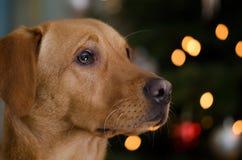 Lottie vor dem Weihnachtsbaum Stockbild