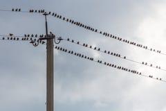Lotto degli uccelli che si siedono sui cavi Fotografie Stock Libere da Diritti