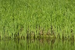Lotto dei gambi di alta erba verde Immagine Stock Libera da Diritti