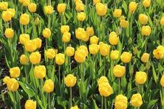 Lotto dei tulipani gialli Immagine Stock
