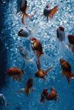 Lotto del pesce rosso casuale nei bubles di ossi Fotografia Stock