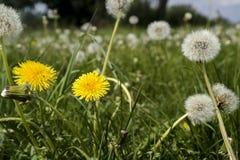 Lotto del primo piano dei denti di leone sulla natura in primavera contro il contesto della casa di estate fotografia stock libera da diritti