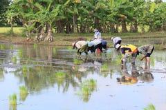 Lotto dell'agricoltore in Tailandia coltivare il riso immagini stock libere da diritti