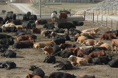 Lotto dell'alimentazione del bestiame Fotografia Stock Libera da Diritti