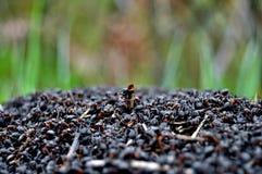 Lotto delle formiche Fotografia Stock Libera da Diritti