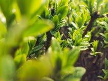 Lotto di piccole foglie verdi con le gocce di pioggia Fotografia Stock